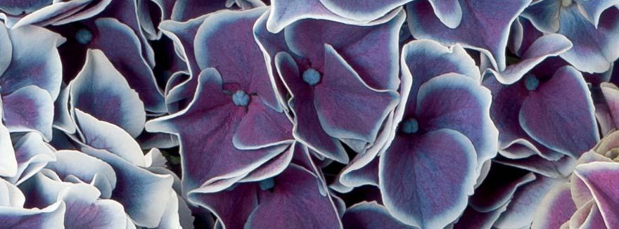Ortensie-Bicolore