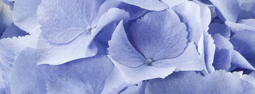 Hortensien-Blau