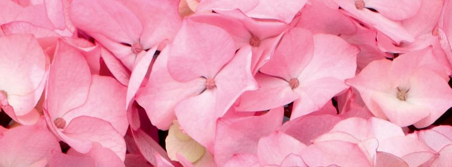 Ortensie-Pink