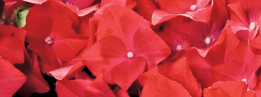 Ortensie-Rosso