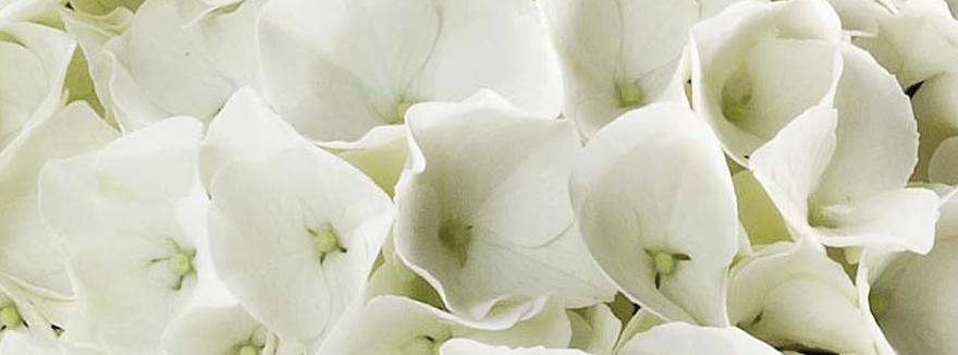 Hortensien-Weiß