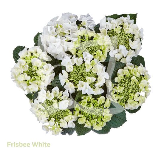 Frisbee<sup>®</sup> White