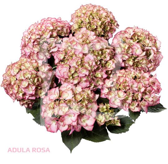 Adula Rosa