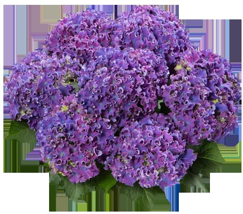 Curly® Sparkle Blue Purple