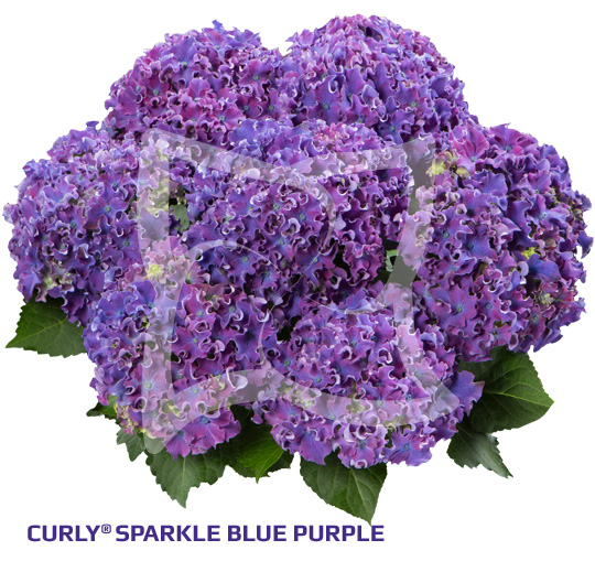 Curly® Sparkle Blue Purple