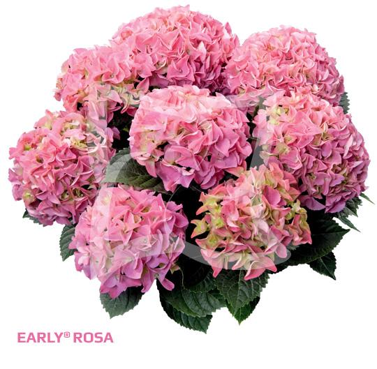 Early Rosa