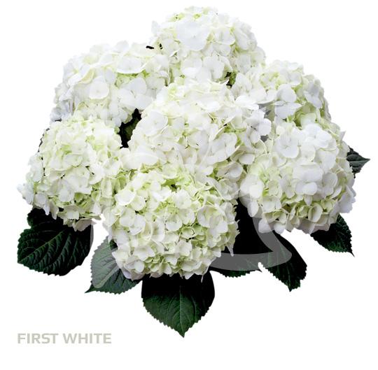 First White