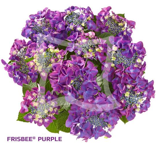 Frisbee<sup>®</sup> Purple