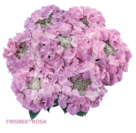 Frisbee Rosa