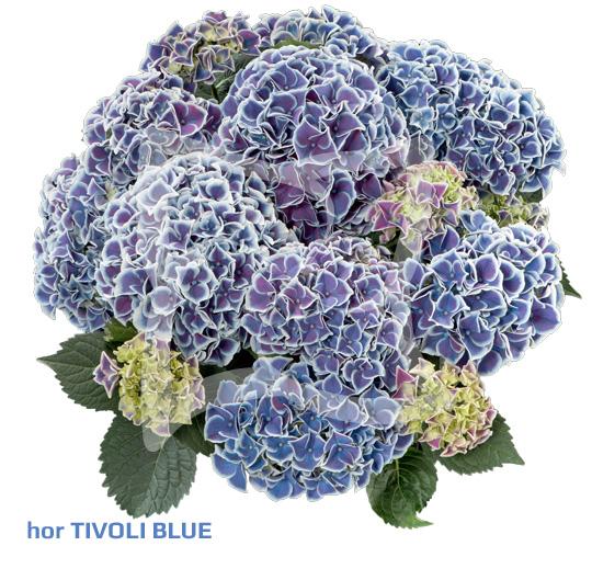 hor Tivoli Blue