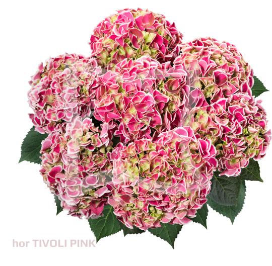 hor Tivoli Pink