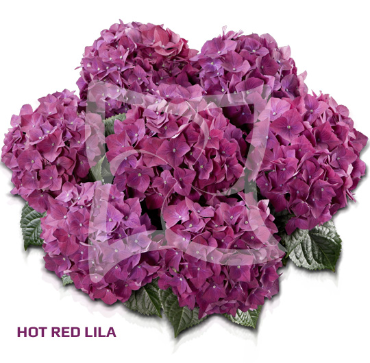Hot Red Purple