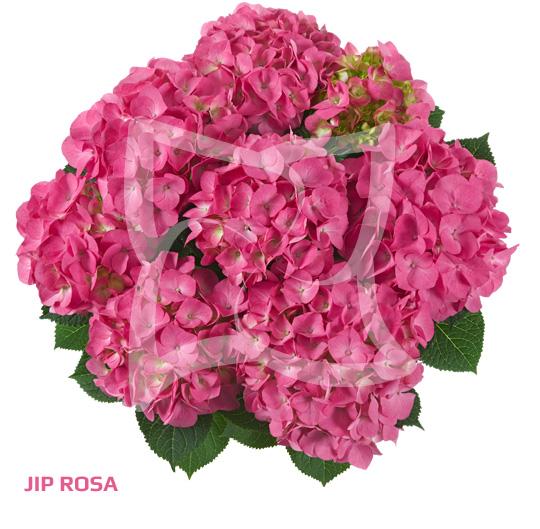 Jip Rosa