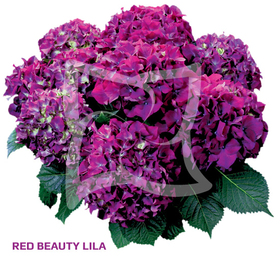 Red Beauty Lila