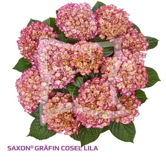 Saxon<sup>®</sup> Gräfin Cosel Purple