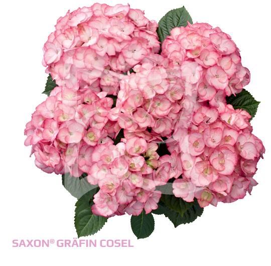 Saxon<sup>®</sup> Gräfin Cosel
