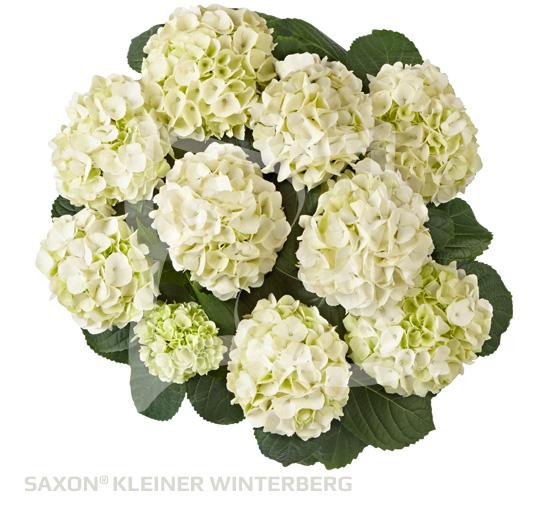 Saxon Kleiner Winterberg