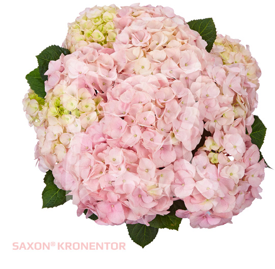 Saxon<sup>®</sup> Kronentor