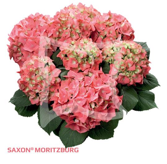 Saxon<sup>®</sup> Moritzburg