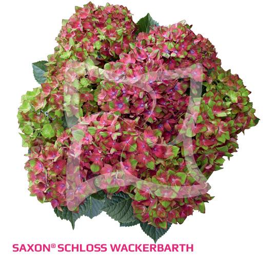Saxon Schloss Wackerbarth