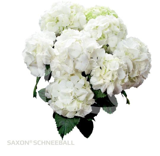 Saxon<sup>®</sup> Schneeball