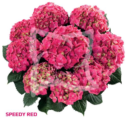 Speedy Red