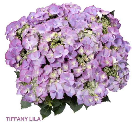 Tiffany Purple
