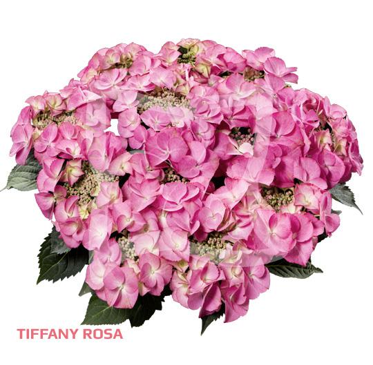 Tiffany Rosa