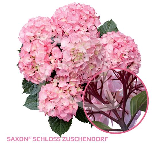 Saxon<sup>®</sup> Schloss Zuschendorf