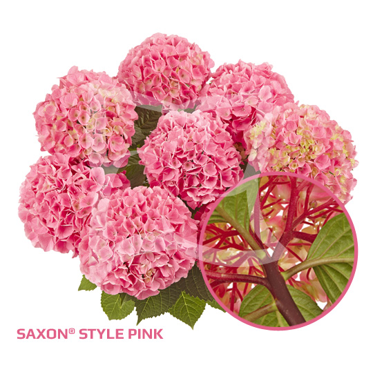 Saxon<sup>®</sup> Style Pink