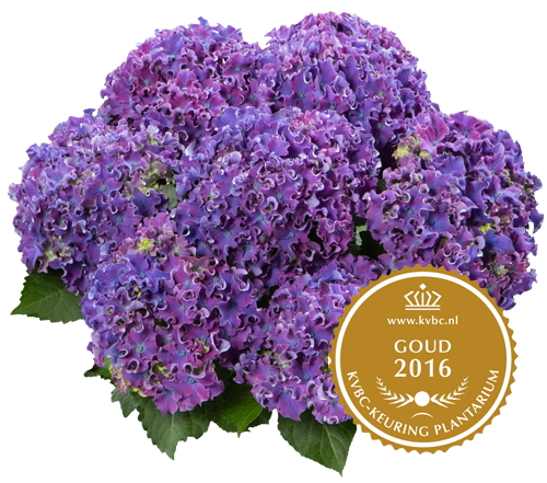 Curly Sparkle Blue Purple - Goud - 2016 KVBC