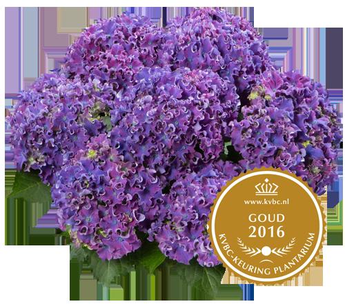 Curly Sparkle Blue Purple - Goud - 2016 KVBC