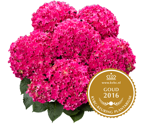 Curly Sparkle Red - Goud - 2016 KVBC