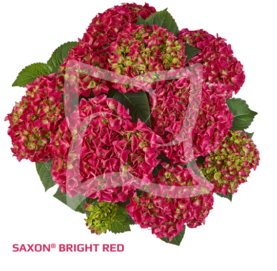 Saxon Bright Red
