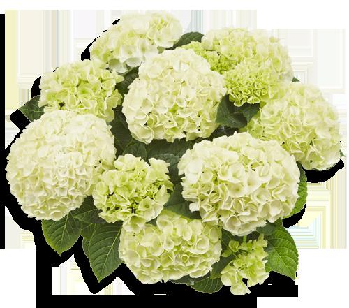 Saxon Bright White