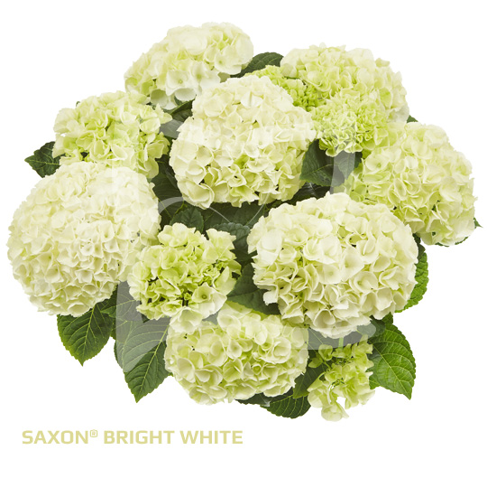Saxon Bright White
