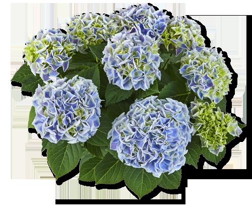 Saxon Cndy-Heart Blue