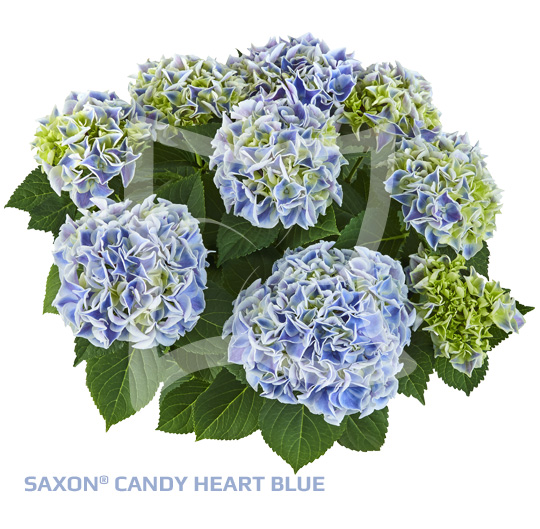 Saxon Cndy-Heart Blue