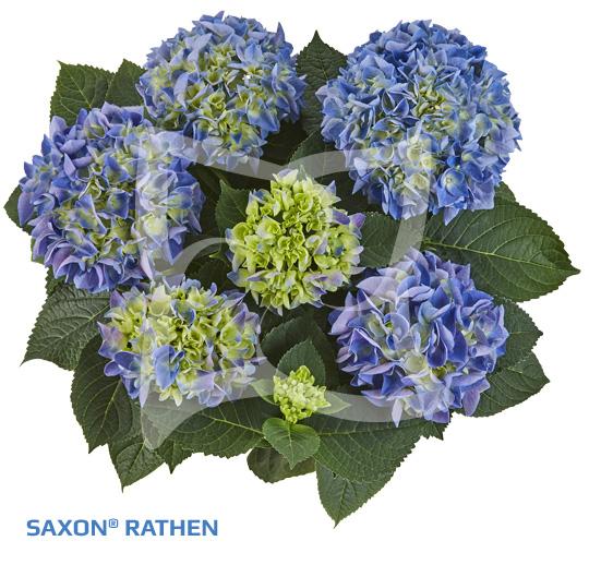 Saxon Rathen
