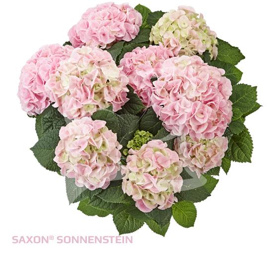 Saxon<sup>®</sup> Sonnenstein