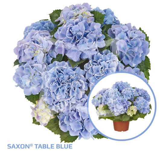 Saxon Table Blue