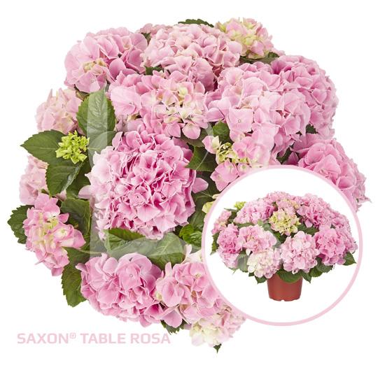 Saxon Table Rosa