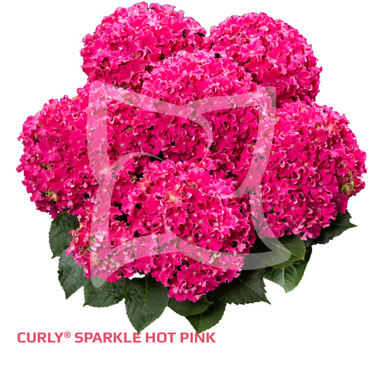 Curly Sparkle Hot Pink