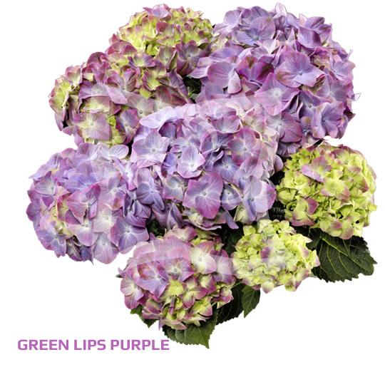 Green Lips Purple