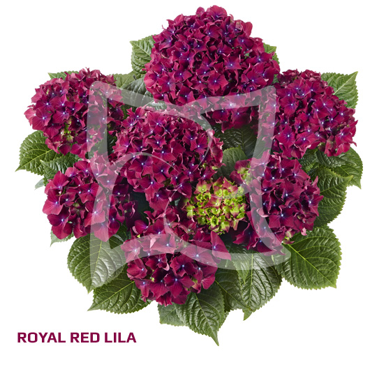 Royal Red Purple