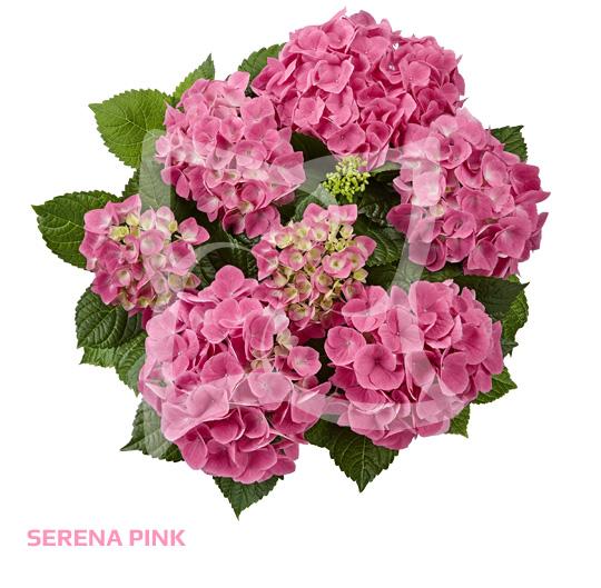 Sarena Pink