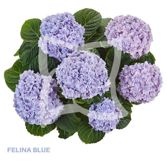 Felina Blue