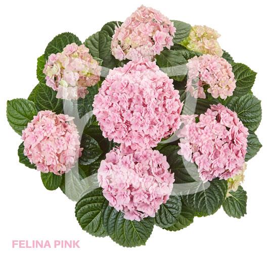 Felina Pink