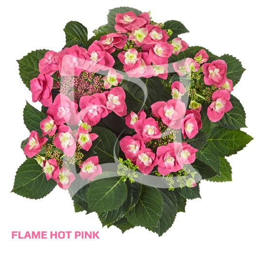 Flame Hot Pink