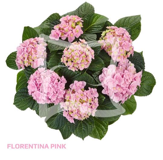 Florentina Pink
